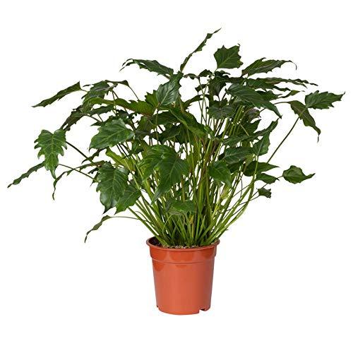 Pflanzen Kölle Baumfreund, Philodendron Xanadu, grün, Gesamthöhe ca. 60 cm