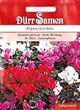 Alpenveilchen, Cyclamen persicum, ca. 25 Samen