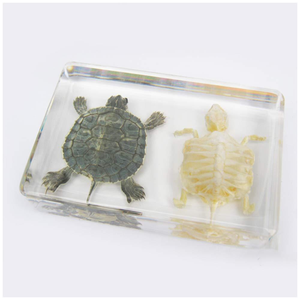 ZLF Tortoise and Bird Skeleton Real Specimen Free Shipping Cheap Bargain Gift - Transparent Resin Some reservation