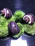 Purple Mystery Snails x3 (Pomacea Bridgesii) Rare - Live Freshwater Snail - Plants