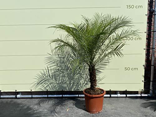 Phoenix Roebelenii - Zwergdattelpalme - 140/150cm - Stammhöhe 30/40cm