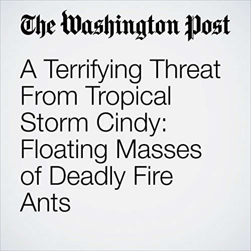 A Terrifying Threat From Tropical Storm Cindy: Floating Masses of Deadly Fire Ants copertina