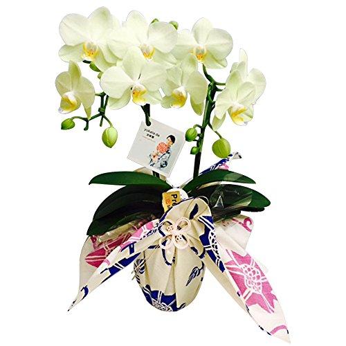 【母の日受付締切5/1】ミニ胡蝶蘭 yukata de 胡蝶蘭 4号鉢植え 2本立て /お中元 ギフトに花のプレゼント 開店祝いに 母の日 (イエロー)