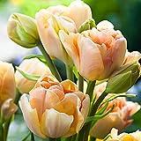 Cossll498 100pcs variété tulipe graines belle fleur floral maison décoration de plantes de jardin (3pcs bulbes de tulipes de champagne)