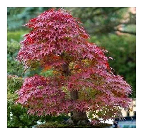 Acer tartaricum - Feuer-Ahorn -...