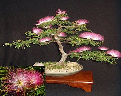 Arvice seeds Seidenbaum Mimosa Bonsai Persisch rosa Seide Baum 10Samen SELTEN
