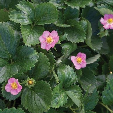Gasana Strawberry Seeds (Fragaria x ananassa) 5+ Rare Seeds + FREE Bonus 6 Variety Seed Pack - a $29.95 Value! Packed in FROZEN SEED CAPSULES for Growing Seeds Now or Saving Seeds For Years