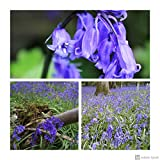 Humphreys Garden Cultivated English Bluebell Glockenblume x 30 Bulbs Blumenzwiebeln Size 6/7