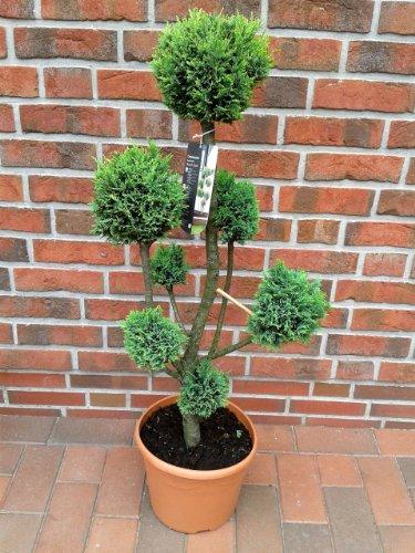 Gartenbonsai, Höhe: 100-110 cm, Bonsai, Chamaecyparis Ellwoodii grün, Zypresse, Kegelzypresse + Dünger