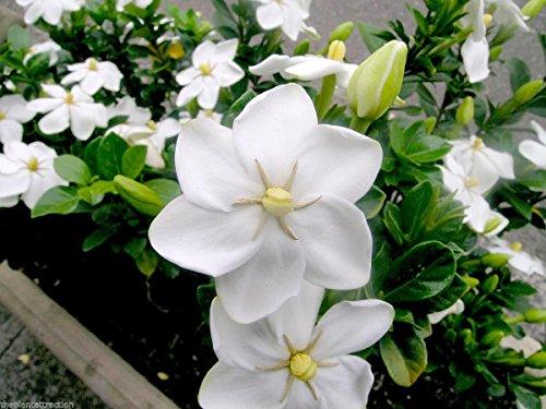 Gardenia Thunbergia 10 Samen, Fragrant wilde Gardenia, Strauch oder kleiner Baum Pflanzen