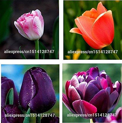Tulip, graines de tulipes, des plantes en pot d'intérieur en pot et en plein air purifier les couleurs de mélange d'air, tulipe fleurs - 100pcs / bag