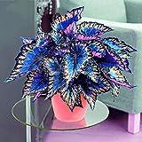 3: Davitu 100Pcs/Pack Coleus Seeds Rainbow Dragon Seeds Garden Japanese Foliage Plants (Color: 3)