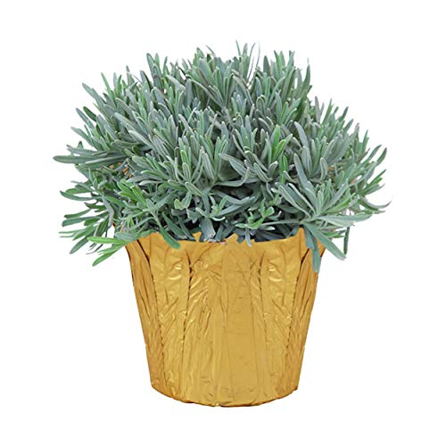 The Three Company Healthy Live 6' Potted Lavender (Aromatic and Edible), Wrapped in Deco Cover