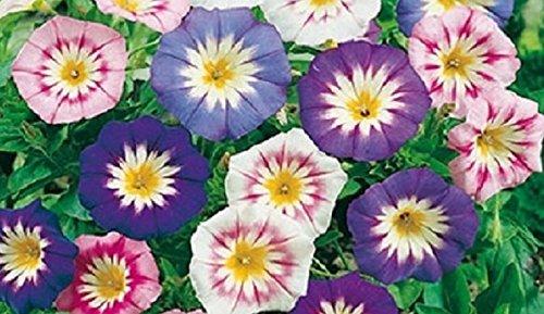 25 Graines semence fleur belle de jour violet bleu rose blanc coeur jaune certifiées fleur/potager/ bulbe