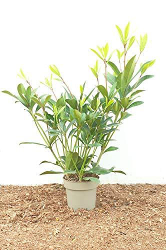 Immergrüne Heckenpflanze Blüten Skimmie 40cm im Topf gewachsen