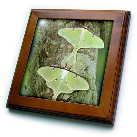 3dRose ft_95527_1 North American Luna Silk Moth, Insects-US48 DGU0708-Darrell Gulin-Framed Tile, 8 by 8-Inch