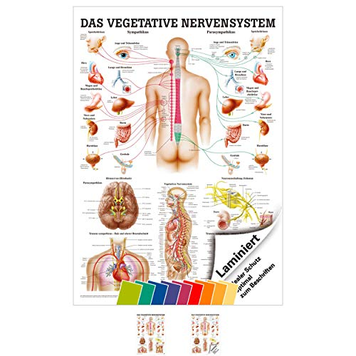 Sport-Tec Vegetatives Nervensystem Mini-Poster Anatomie 34x24 cm med. Lehrmittel