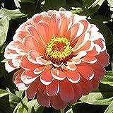 200 Stück Zarte Rosa Zinnien Samen Schöne Und Attraktive Blütenfarben Mehrjährige Gentechnikfreie Erbstück-Blumensamen Effizientes Pflanzen In Gärten Im Freien