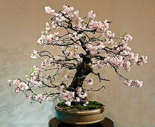 RETS Bonsai White Flowering Crepe Myrtle Seeds Lagerstroemia Indica Seed Indoor Pot