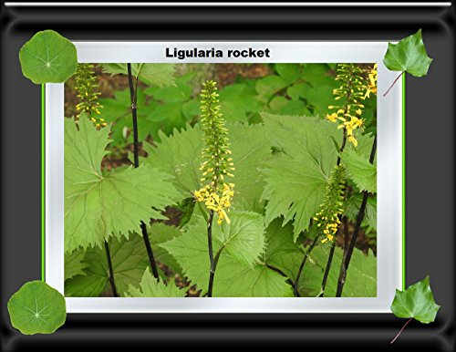 Ligularia rocket plant 2017 (English Edition)