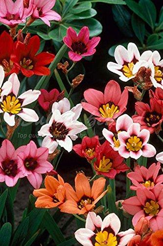 200 Bulbes de Sparaxis/Fleurs D'Arlequin en mélange (Livraison gratuite)
