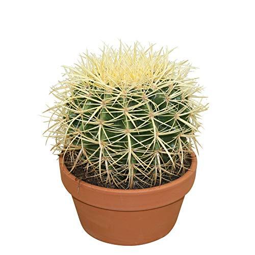 Echinocactus grusonii | Goldkugelkaktus Pflanze | Kaktus Pflanze | Höhe 15-18 cm | Topf-Ø 12 cm
