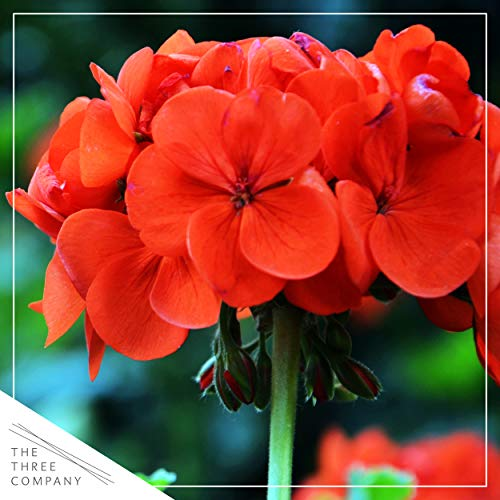 The Three Company Live Flowering 1 Quart Zonal Geraniums (3 Plants Per Pack), Ships with Buds, Red