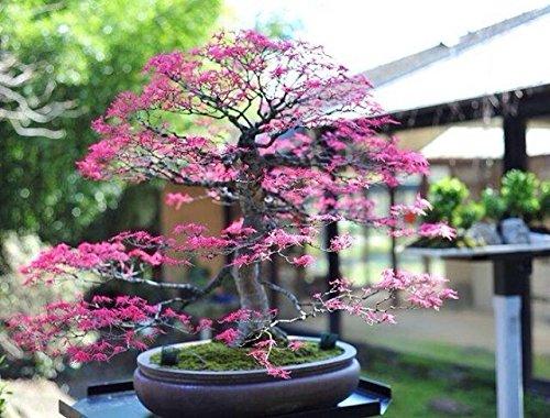35pcs / bolsa importada arce rojo Semillas Bonsai perenne al aire libre Patio follaje de las plantas en maceta del árbol del jardín fácil de cultivar