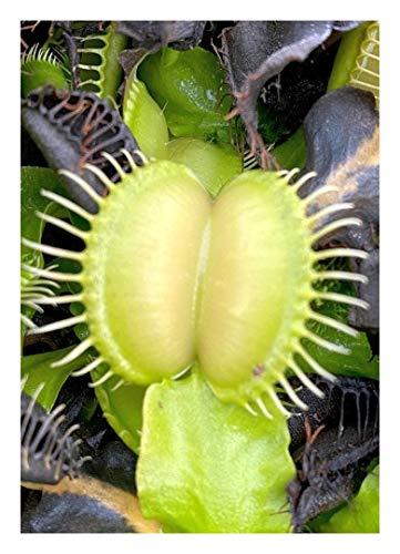 "Venus-Fliegenfalle""Moon Trap"" - Mondfalle / 10 Samen/inkl.Karnivorenerde (Dionaea muscipula)"