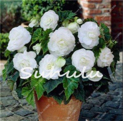 100 Pcs Bonsai Graines Begonia hybrida Voss lanternes Fleurs Begonia Malus Spectabilis chinois décoratifs Bonsai Fleurs Jardin 10