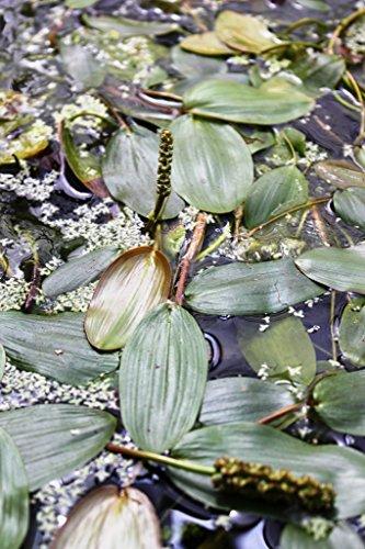 2er-Set - Potamogeton natans - Schwimmendes Laichkraut - Wasserpflanzen Wolff