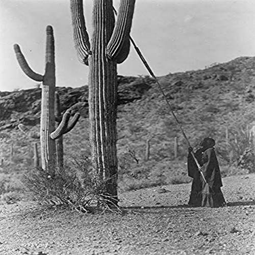 Woman using long pole to harvest cactus fruit Arizona arge tree-sized cactus species It is native to the Sonoran Desert in Arizona the Mexican state of Sonora and an extremely small area of Californi -  Buy EnLarge, BLL058746660L
