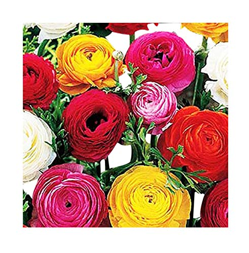 French Peony Mixed Ranunculus - 12 Largest Size Corms