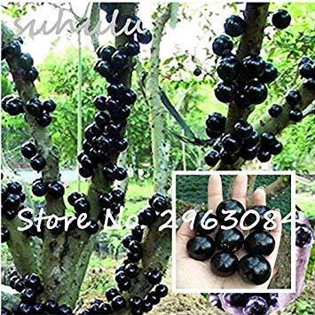 Potseed Zierpflanze Plinia cauliflora Samen 100Pcs Familie Myrtaceae Jabuticaba Fruchtsamen Novel Pflanze brasilianischen Grape