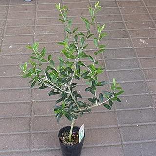 オリーブの木 鉢植え お洒落な高さ30-60サイズ 3.5号ポット苗