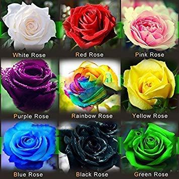 (* Rose1-9 Ambizu *) Cette commande Inclure 9 Packs chaque couleur 50 Graines Graines Rose chinoise - arc-en-Noir Blanc Rose Rouge Violet Vert Bleu Rose Graines par AMBIZU 99-99