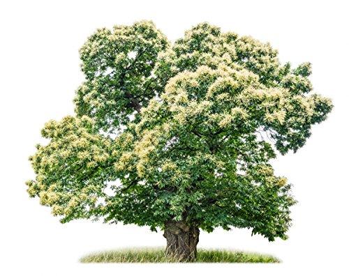 Baum des Jahres 2018 - Edelkastanie / Esskastanie im Container Größe 100 bis 125 cm