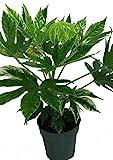 Variegated Japanese Aralia - Fatsia japonica 'Variegata' - Indoor - 6' Pot