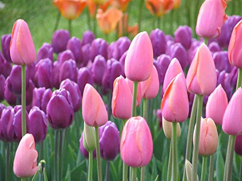 50 Pink & Purple Tulip Bulbs Mixed Collection Spring Flowers
