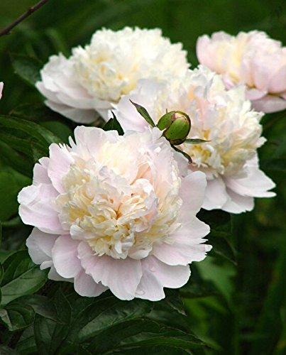10pcs/sac de graines de pivoine, jaune, graines de fleurs de pivoine rose chinoise belles graines de bonsaï plantes en pot pour le jardin de la maison 9