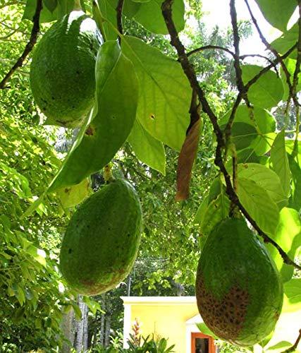 Portal Cool Las semillas de aguacate Persea Americana árbol raro viable exótico Bonsái a la inicio ??