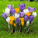 Crocus Large Flowering Mixed Bulbs