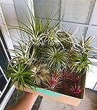 6 Plantas de Aire Mixtas Tillandsia - Plantas Fuertes - Plantas Purificadoras de Aire