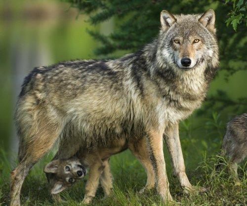 Edition Colibri Carte postale 3D lenticulaire loup 'louve avec son petit'