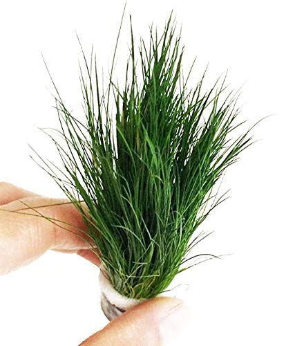 Dwarf Hairgrass Easy Live Aquarium Freshwater Plants Decorations 3 Days Live Guaranteed by Mainam