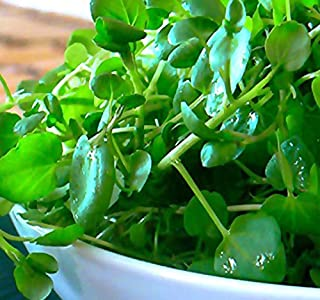 BIG PACK - (20,000) TRUE Watercress Upland Cress Seed - Nasturtium officinale Seeds, Open Pollinated Seeds - Non-GMO Seeds by MySeeds.Co (BIG PACK - True Watercress)
