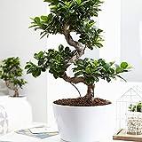 BONSAÏ - Le Ficus microcarpa Ginseng est arbuste originaire d'Asie et d'Océanie très populaire dans nos climats comme plante verte d'intérieur et prisée pour la culture bonsaï. EN FORME DE S - Ce bonsaï Ginseng se distingue par ses racines renflées h...