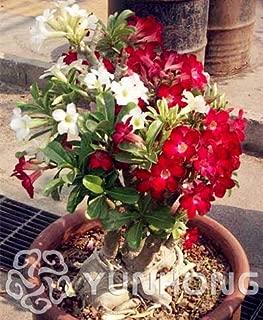 Kalash nuevas PC 1 Semillas de flores Desert Rose Adenium obesum para jardinería de Red