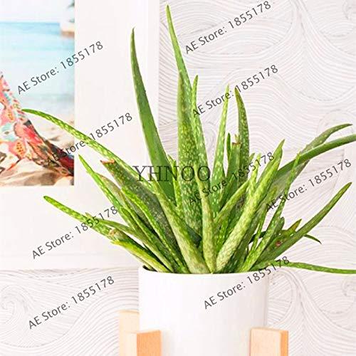 Sumpf frisch 100 Stück Aloe Vera Pflanzensamen zum Pflanzen von Grün 1
