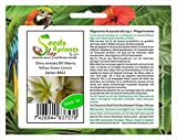 Pezzi - 1x Clivia Miniata Bill Morris Giallo Green Centre Piante - Semi B962 - Seeds Plants Shop Samenbank Pfullingen Patrik Ipsa